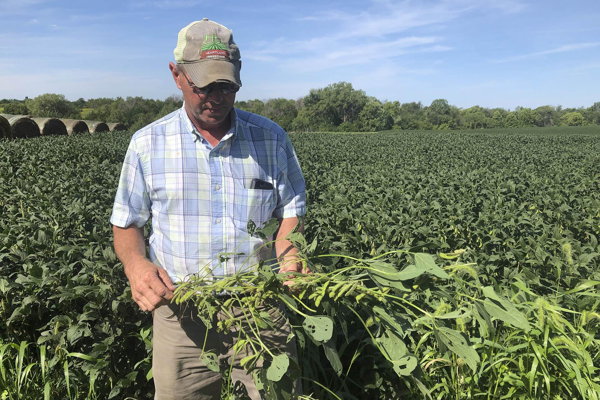 "Farmer Randy Miller is shown with his soybeans, Thursday, Aug. 22, 2019, at his farm in Lacona, Iowa.  Miller, who also farms corn, is among farmers unhappy with President Donald Trump over waivers granted to oil refineries that have sharply reduced demand for corn-based ethanol. Miller called it ""our own country stabbing us in the back."" (AP Photo / Julie Pace)"