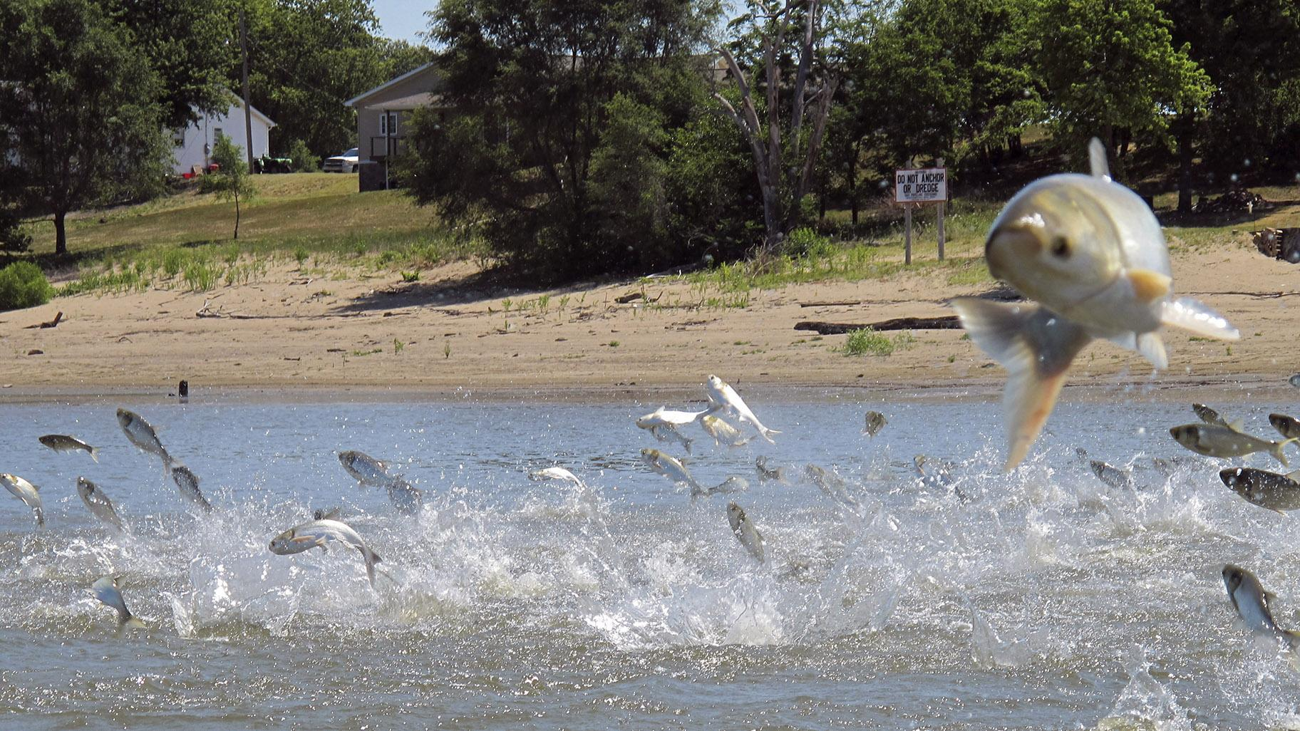 In this June 13, 2012, file photo, Asian carp, jolted by an electric current from a research boat, jump from the Illinois River near Havana, Ill. (AP Photo / John Flesher, File)