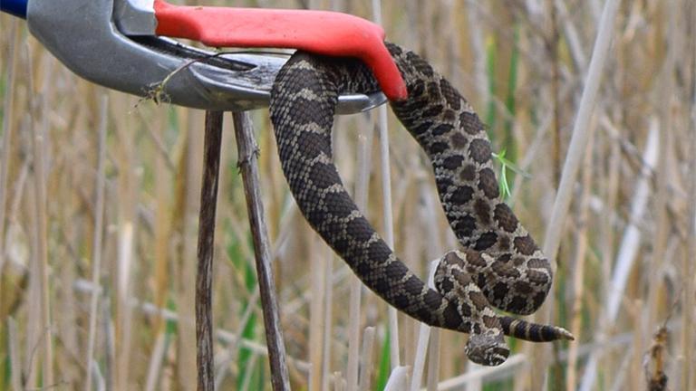 Venomous Illinois Rattlesnake Gets Federal Protection | Chicago News