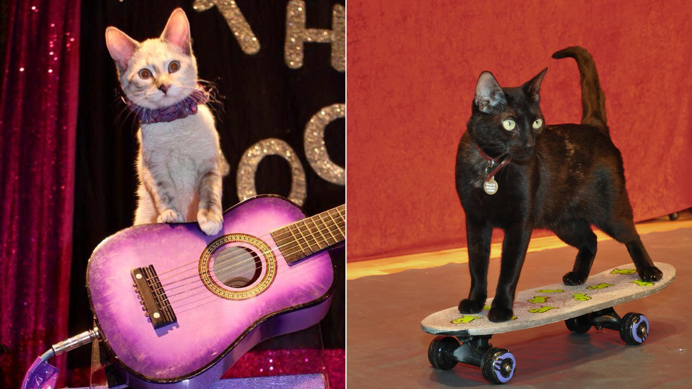 Rock 'n' roll: Cats can do a lot more than sleep. See feline feats at the Amazing Acro-Cats show. (Courtesy Samantha Martin)