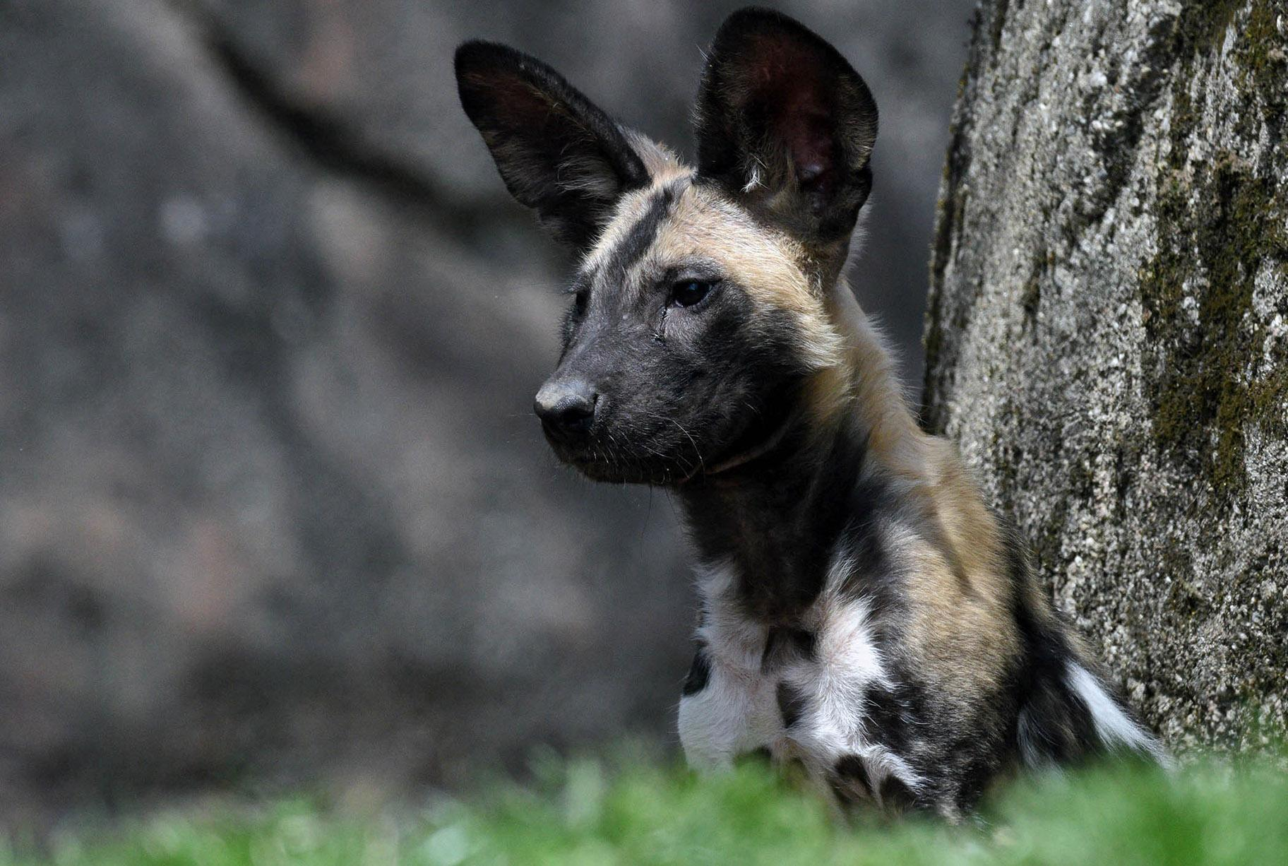 Brookfield Zoo welcomed a litter of seven African painted dogs in January. This fella still needs a name. (Jim Schulz / Chicago Zoological Society)