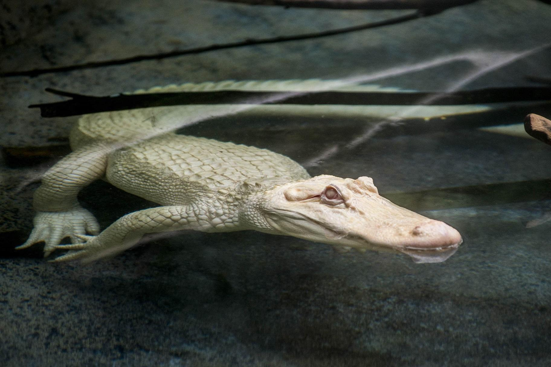 Snowflake, a 7-foot-long albino American alligator, will reside at Brookfield Zoo through September. (Kelly Tone / Chicago Zoological Society)