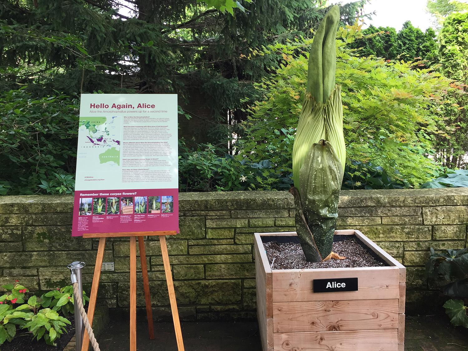 Alice the corpse flower (Courtesy Chicago Botanic Garden)