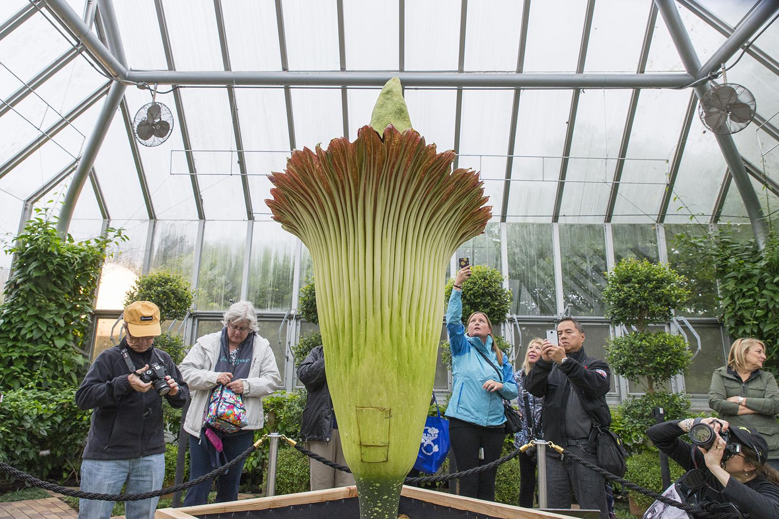 Visitors snap photos of Alice the corpse flower after the plant bloomed in September 2015. (Courtesy Chicago Botanic Garden)