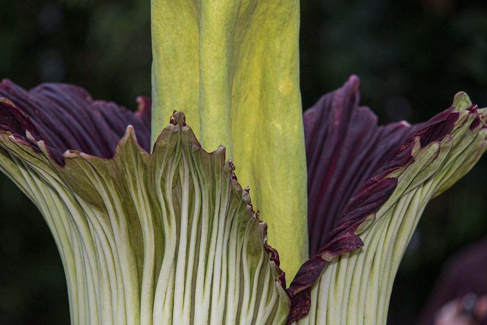 Alice the corpse flower after blooming in September 2015 (Courtesy Chicago Botanic Garden)