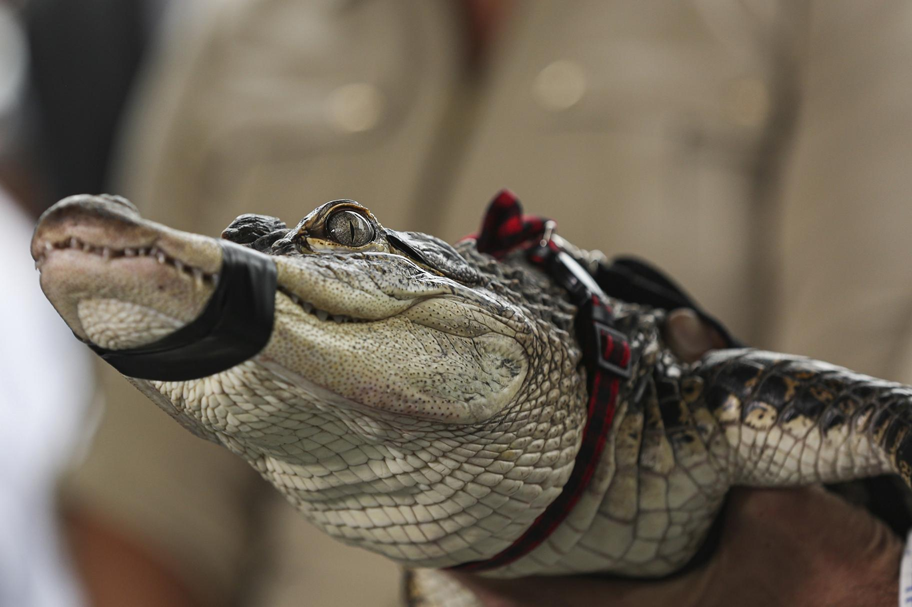 Florida alligator expert Frank Robb holds an alligator during a news conference, Tuesday, July 16, 2019, in Chicago. (AP Photo/Amr Alfiky)