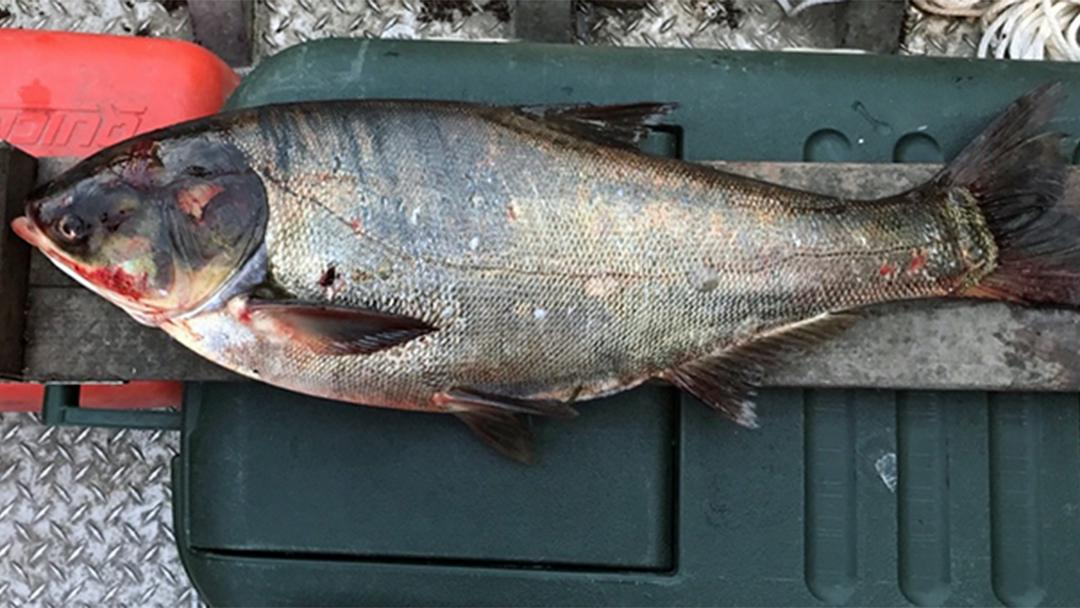 A silver carp was captured last month in the Illinois Waterway below the T.J. O'Brien Lock and Dam, about 9 miles from Lake Michigan. (Courtesy of Illinois Department of Natural Resources)