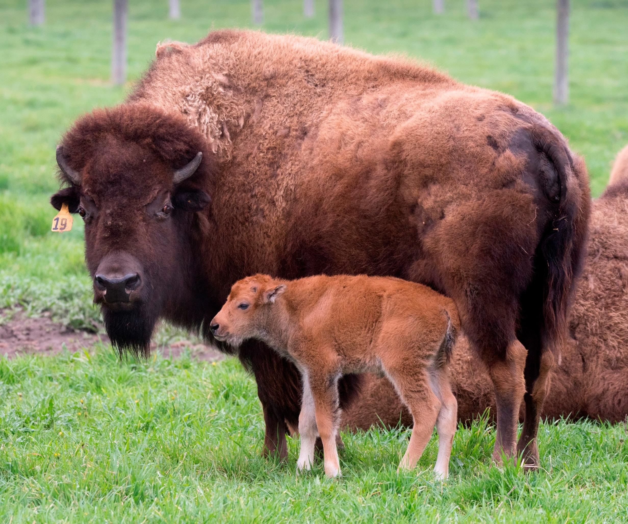 Subarban >> First Bison Born This Year at Fermilab | Chicago Tonight | WTTW
