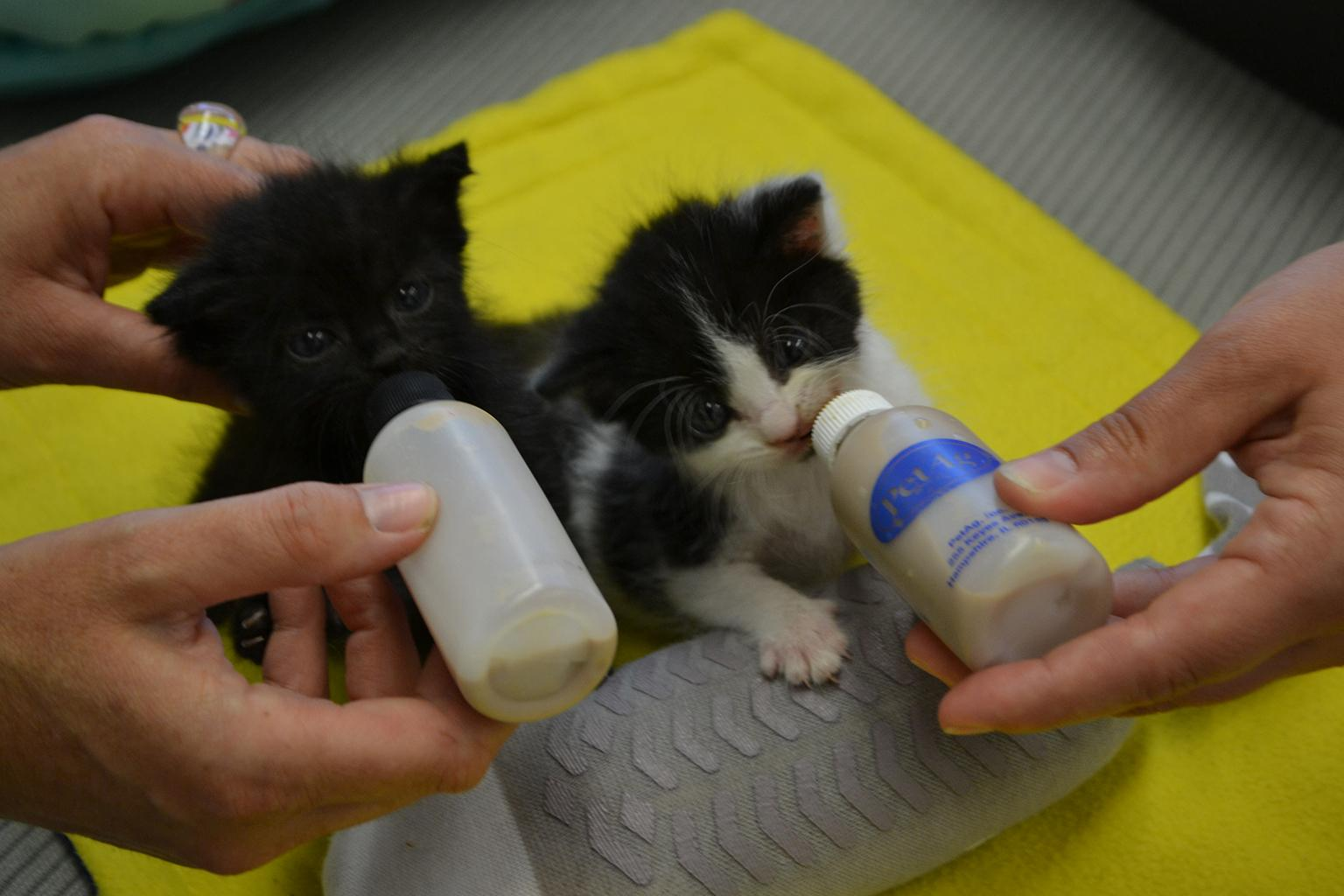 Now 4 weeks old, kittens Jesus, left, and Juan were brought to Chicago Animal Care and Control when they were 1 week old, following a rainstorm that separated them from their mother. (Alex Ruppenthal / Chicago Tonight)