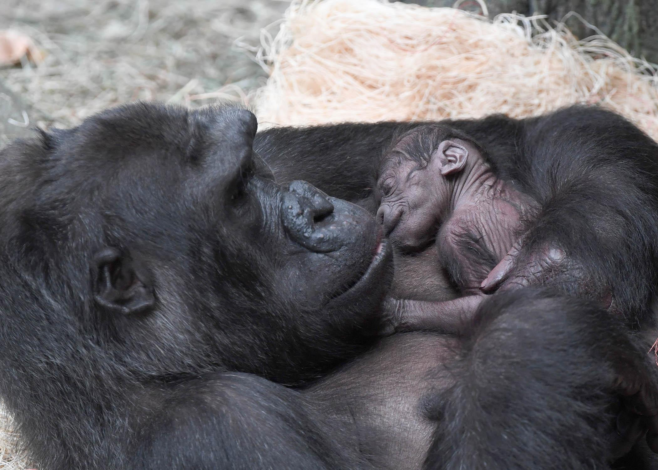 Koola, a 23-year-old western lowland gorilla at Brookfield Zoo, gave birth to her third offspring June 1. (Courtesy Chicago Zoological Society)
