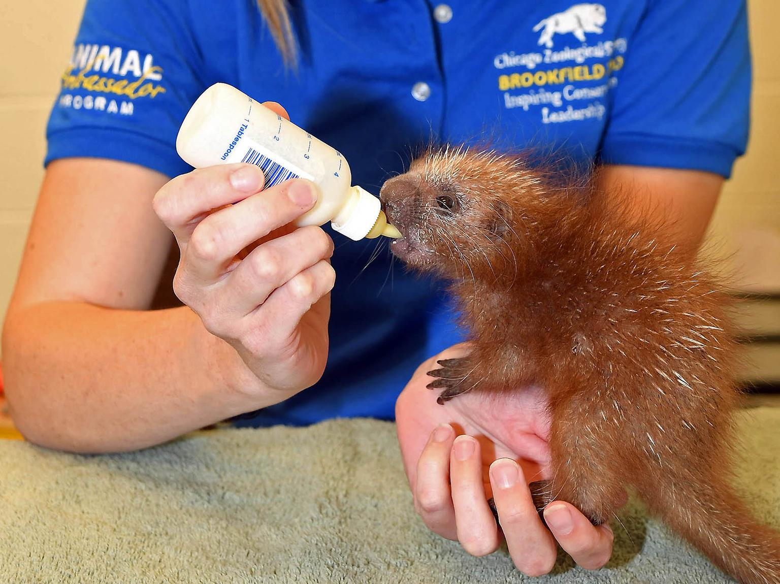 A baby prehensile-tailed porcupine was born at Brookfield Zoo last month. The porcupine is being hand-reared by the zoo's animal care staff. (Jim Schulz / Chicago Zoological Society)