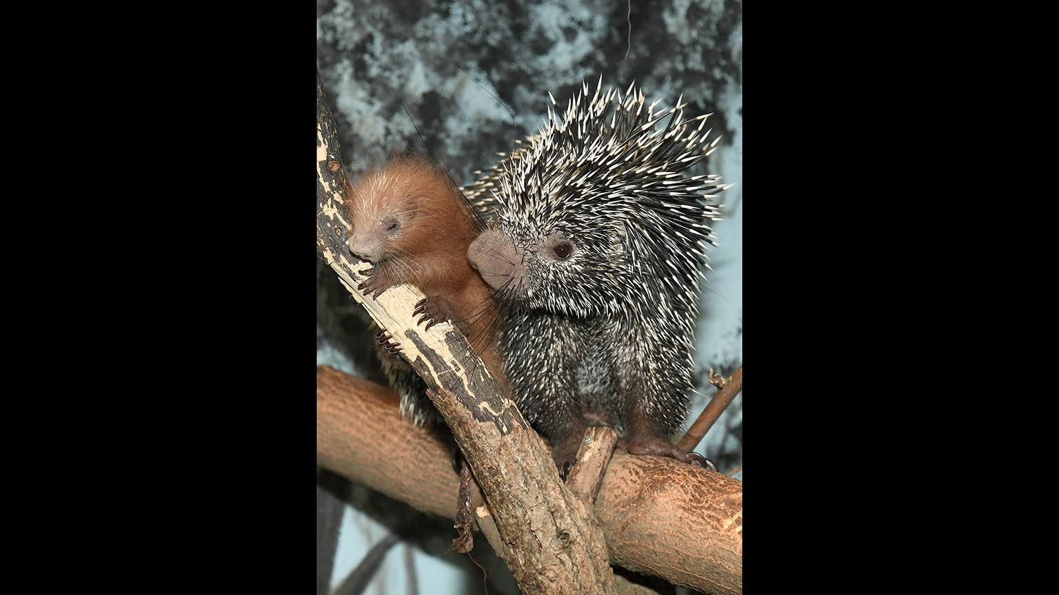 Lucia, a 5-year-old prehensile-tailed porcupine at Brookfield Zoo, gave birth to a male porcupette last month. (Jim Schulz / Chicago Zoological Society)