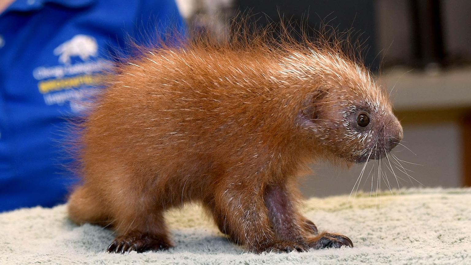 A porcupine born last summer at Brookfield Zoo (Jim Schulz / Chicago Zoological Society)