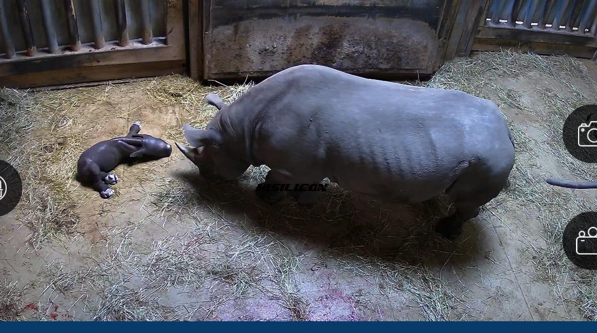 Kapuki, an eastern black rhinoceros at Lincoln Park Zoo, gave birth to a calf May 19. (Courtesy Lincoln Park Zoo)