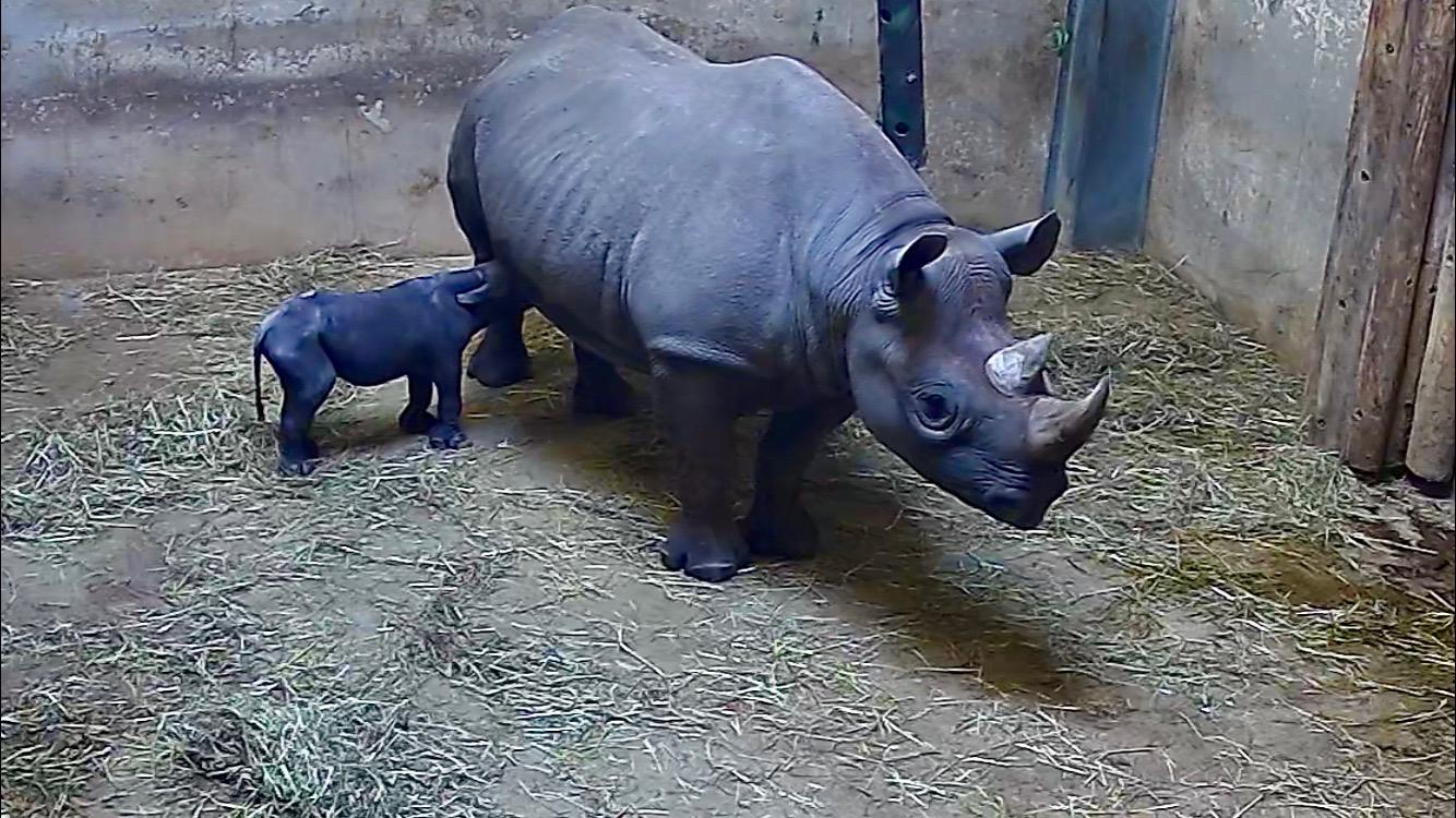 A newborn rhino calf nurses from mother Kapuki at Lincoln Park Zoo. (Courtesy Lincoln Park Zoo)