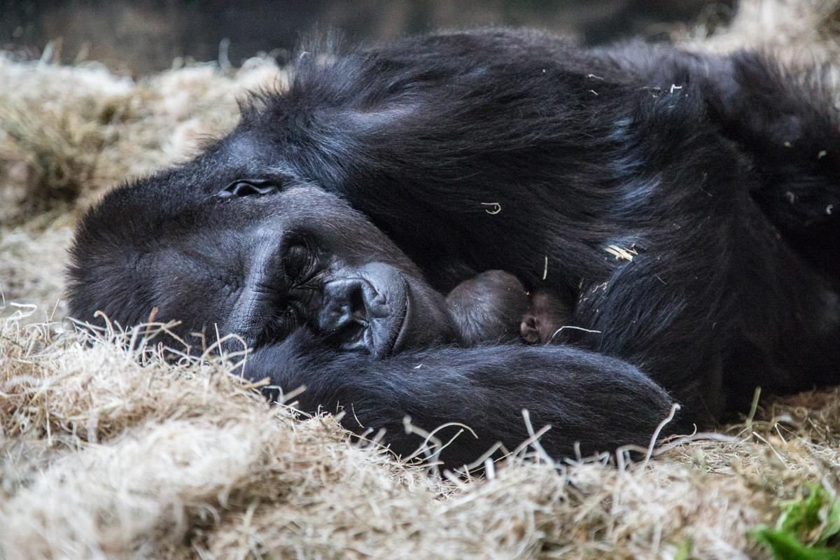 Western lowland gorilla Bana and her offspring at Lincoln Park Zoo (Christopher Bijalba / Lincoln Park Zoo)