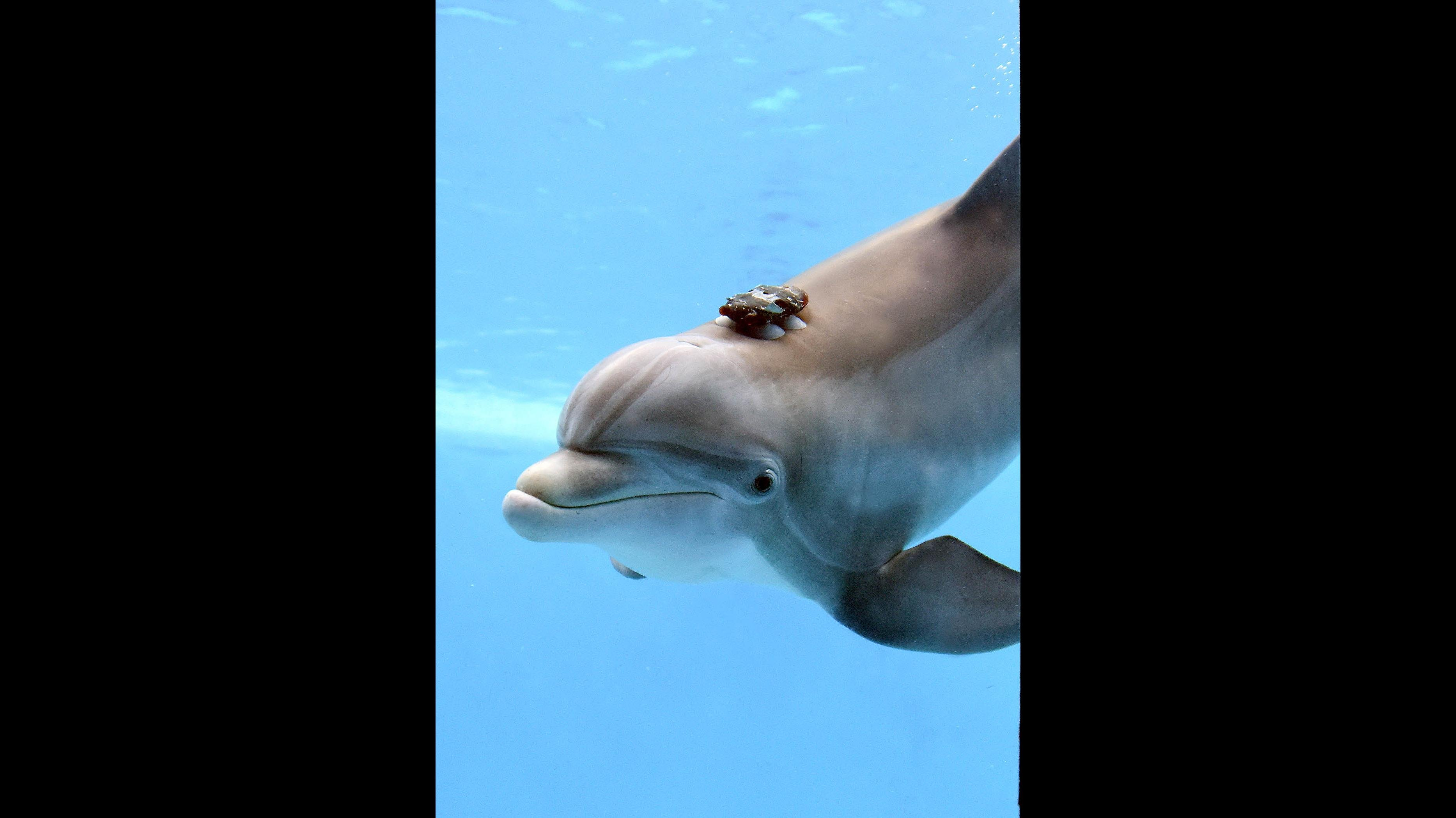 A bottlenose dolphin at Brookfield Zoo wears a biol-logging device to measure her activity levels and movement. (Courtesy Chicago Zoological Society)