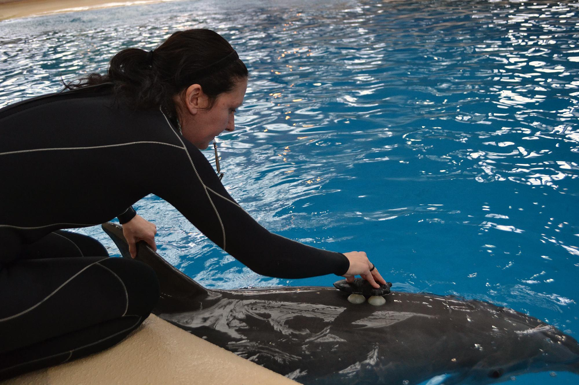 Brookfield Zoo senior animal care specialist Melissa Zabjonik attaches a bio-logging device to the back of Spree, a 14-year-old female bottlenose dolphin. (Alex Ruppenthal / Chicago Tonight)