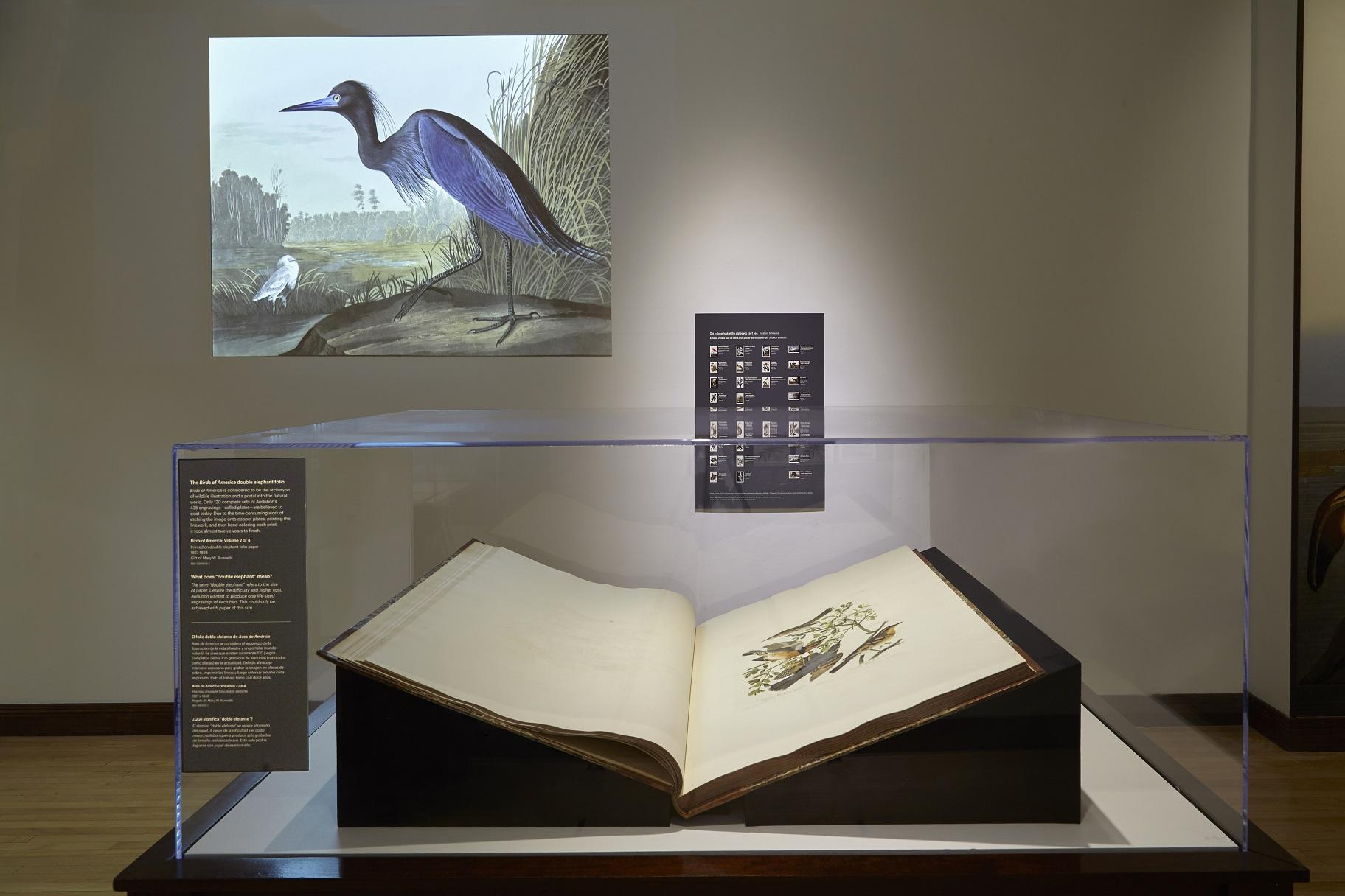 "A new exhibit at the Field Museum showcases ""The Birds of America,"" a groundbreaking book published by painter and ornithologist John James Audubon. (Michelle Kuo / Field Museum)"