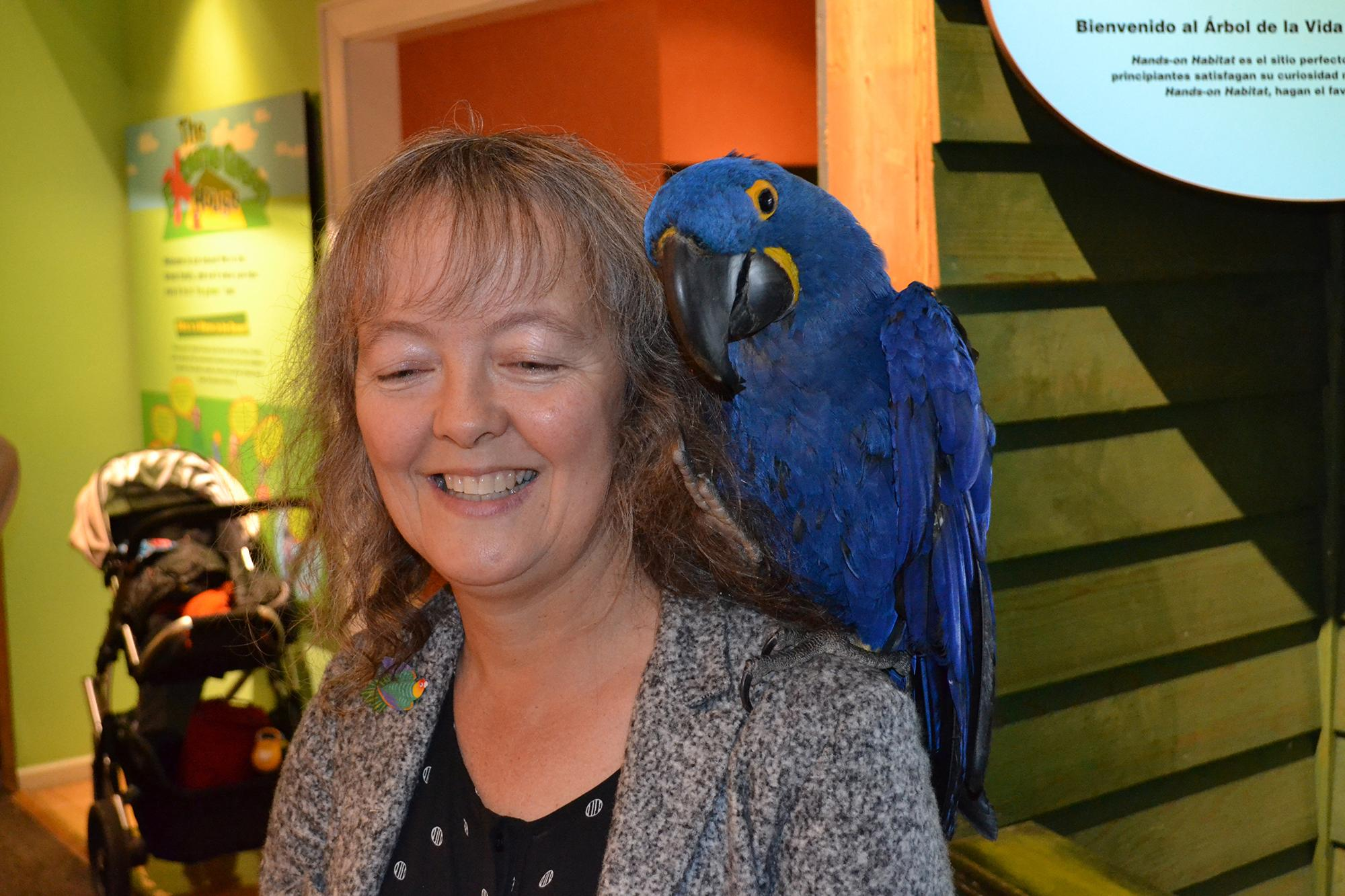Noodle, an 18-year-old Hyacinth macaw, sits on the shoulder of Celeste Troon, director of living collections at the Peggy Notebaert Nature Museum. (Photos by Alex Ruppenthal / Chicago Tonight)