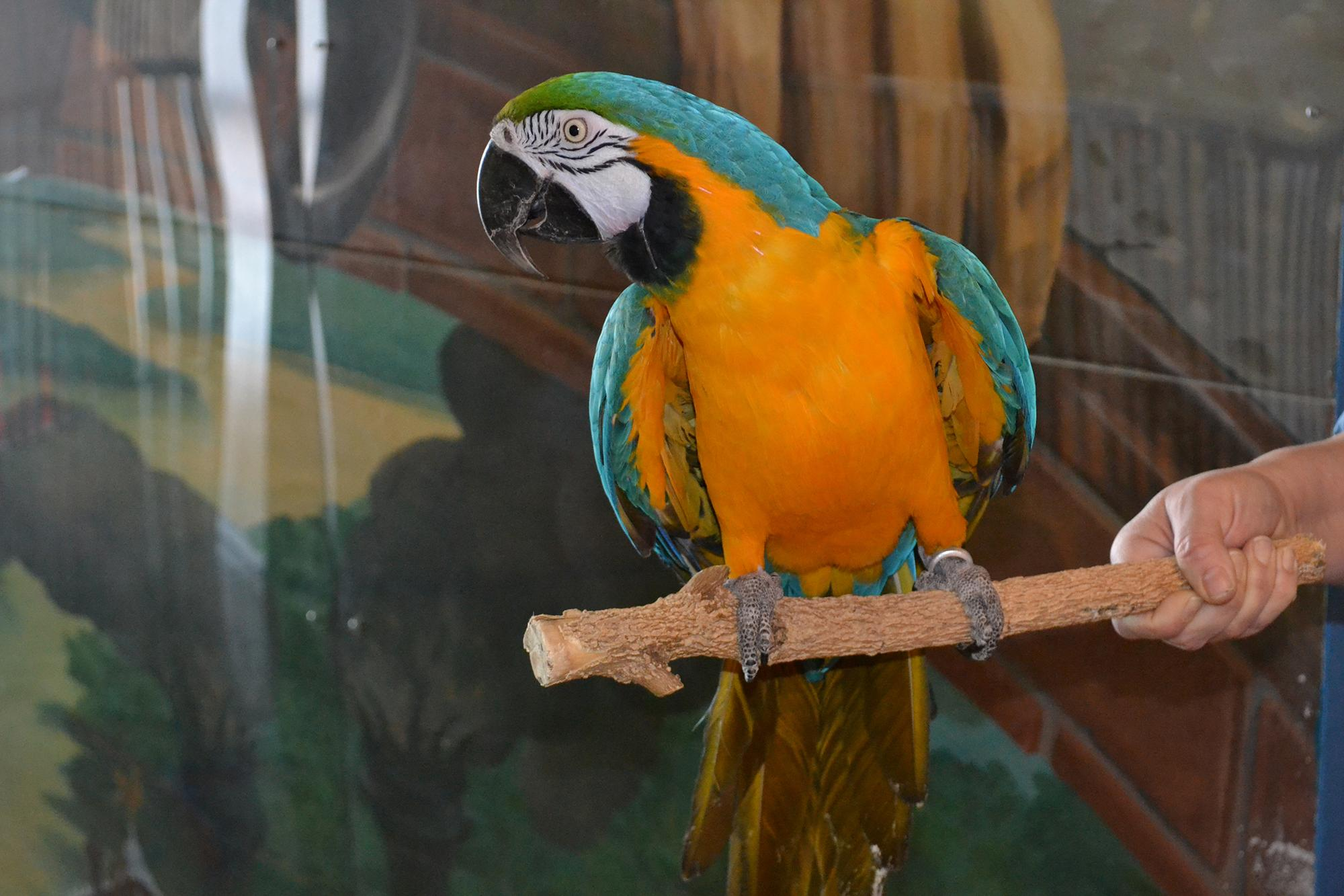 Missy, a 26-year-old blue and gold macaw at the Peggy Notebaert Nature Museum.