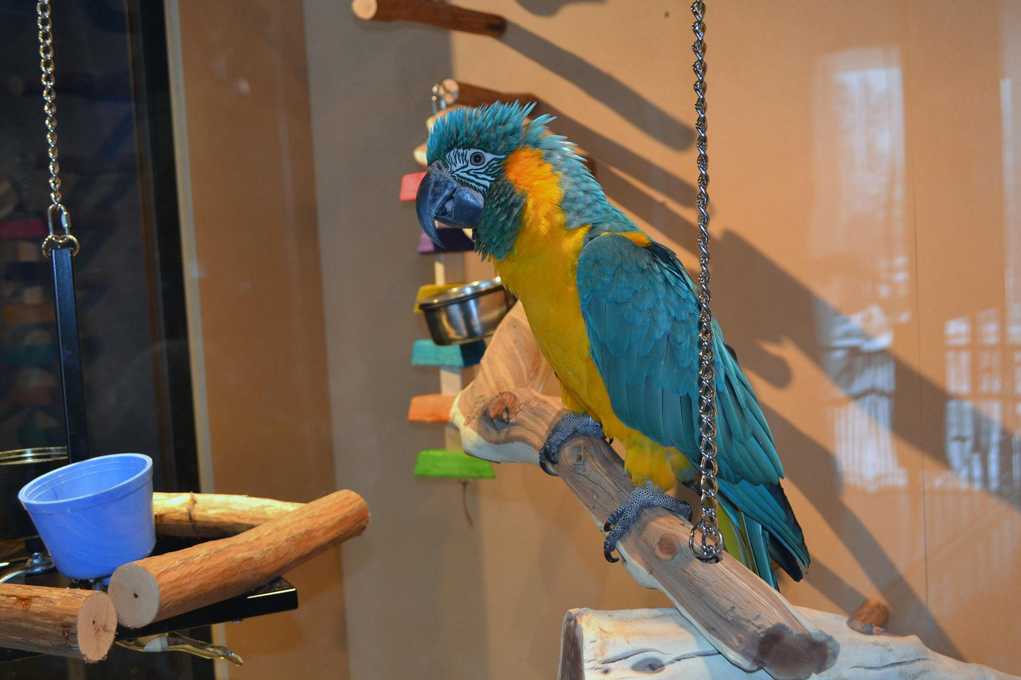 Iggy, an 8-year-old blue-throated macaw, inside The Bird House at the Peggy Notebaert Nature Museum.