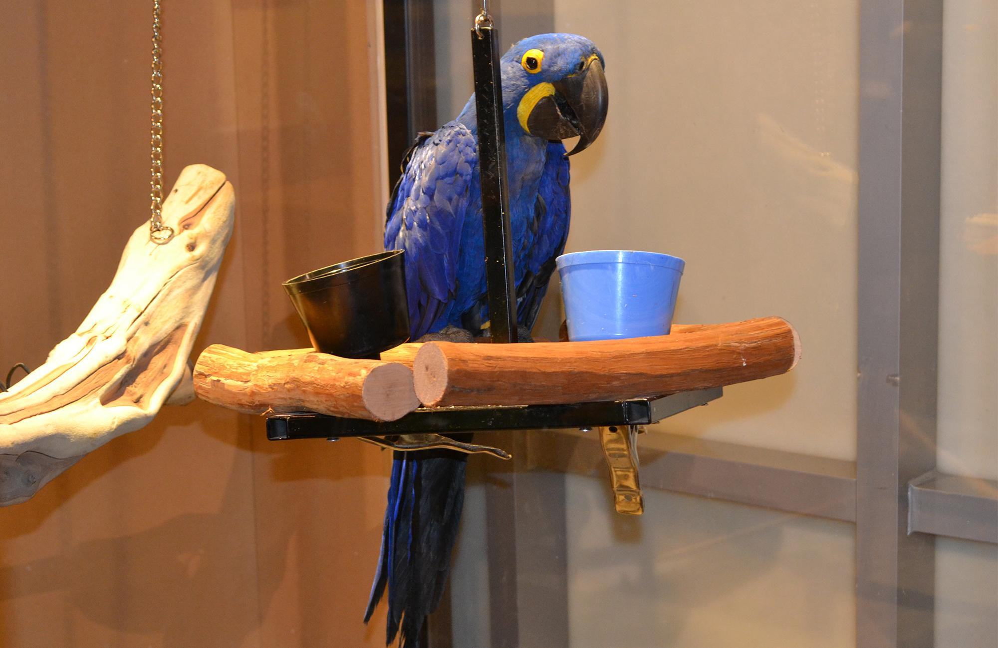 Noodle, an 18-year-old Hyacinth macaw at the Peggy Notebaert Nature Museum.