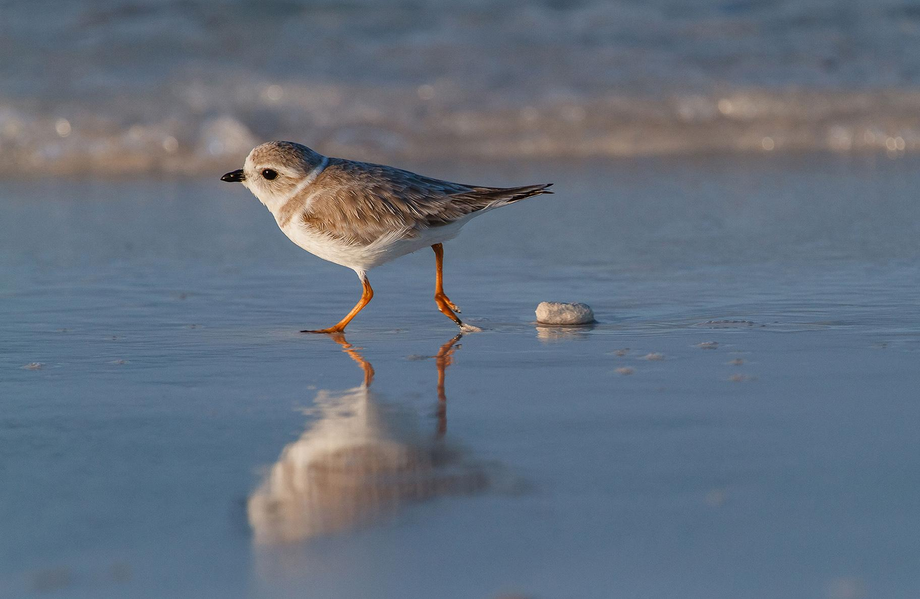 A piping plover (Lorraine Minns / Audubon Photography Awards)