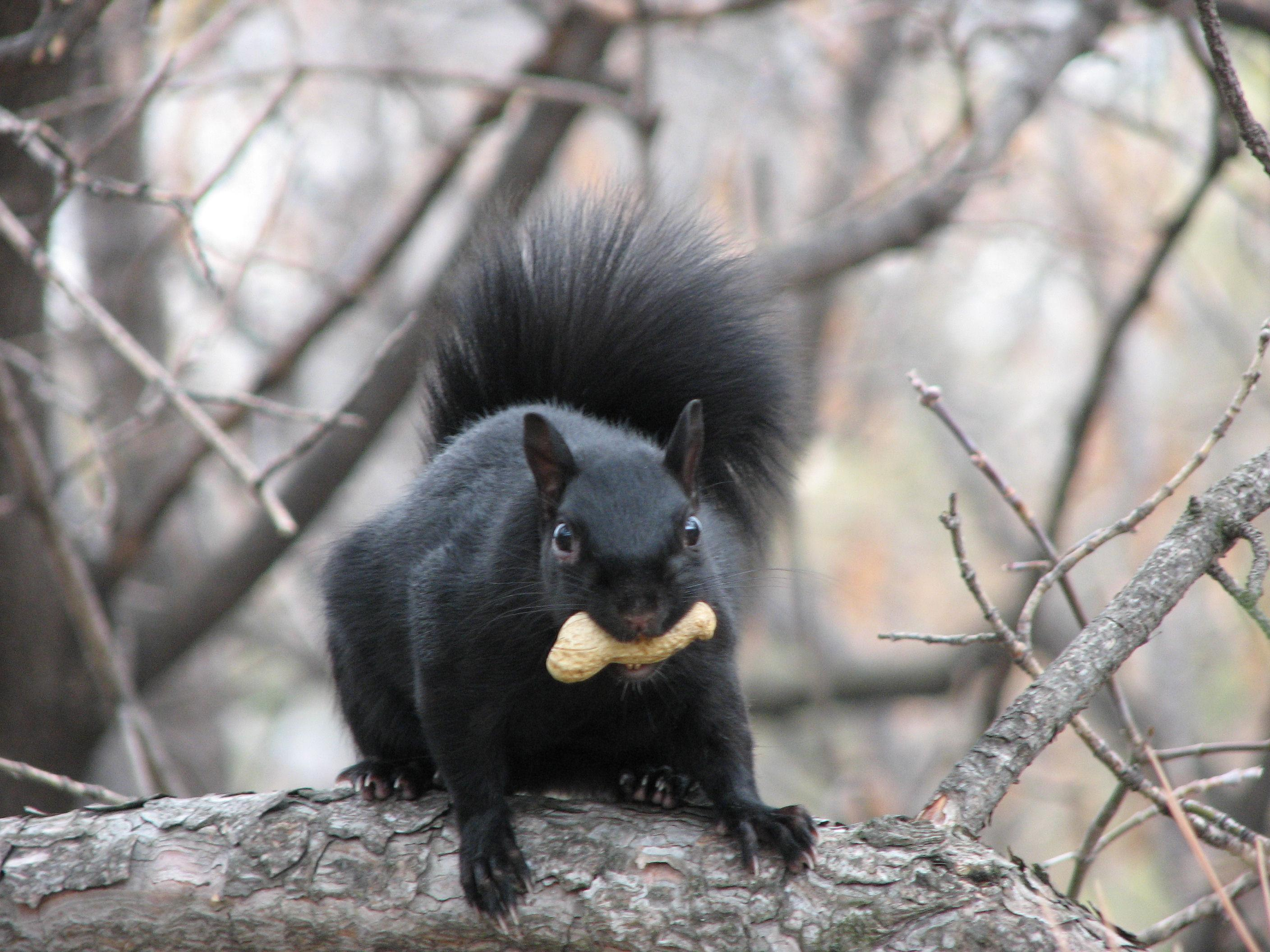 Recently Chicago residents have reported seeing black squirrels, which are more common along the U.S.-Canadian border, according to Steve Sullivan, co-director of Project Squirrel. This photo was taken in Ottawa. (Gordon E. Robertson / Wikimedia Commons)