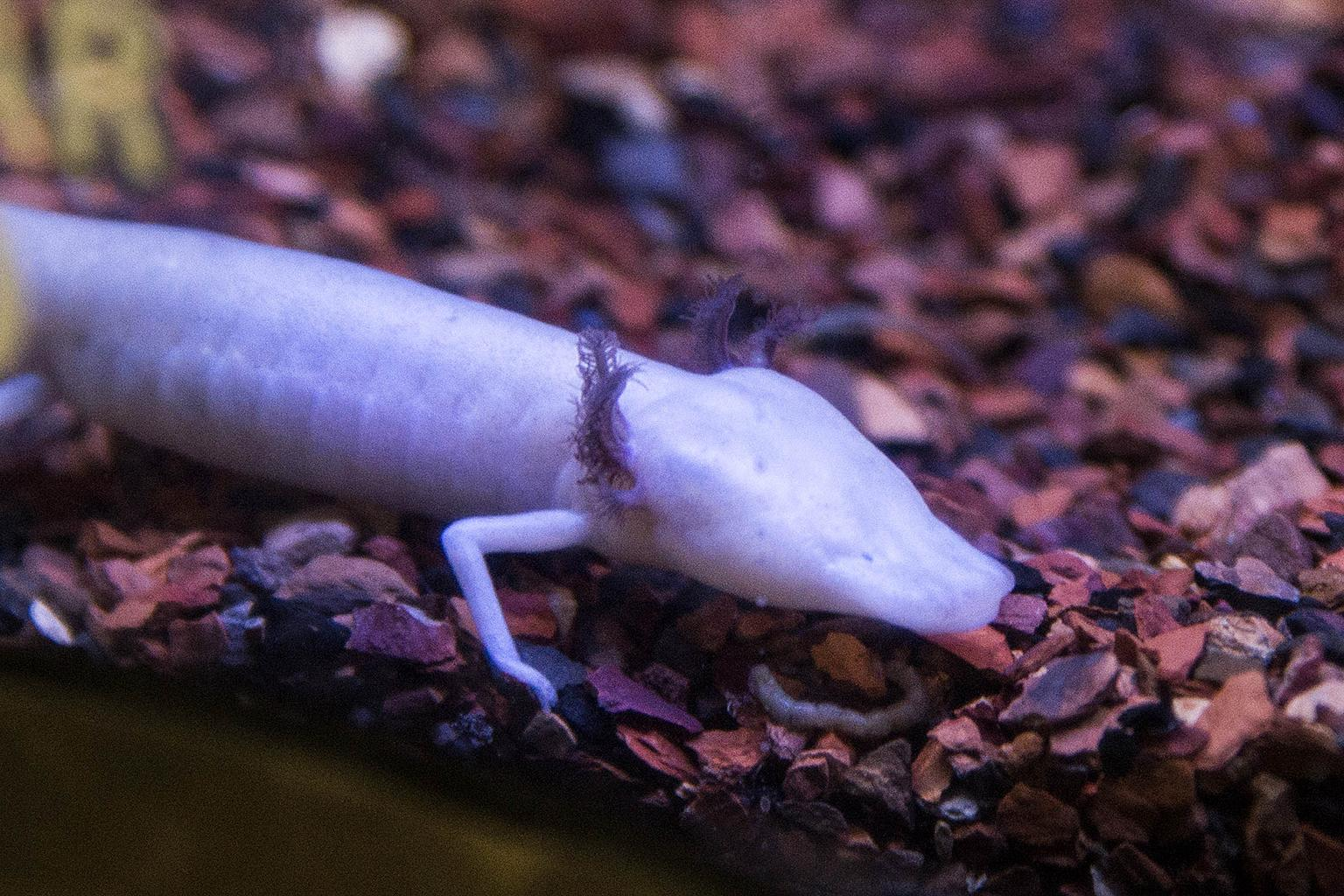 Brookfield Zoo recently welcomed eight Texas blind salamanders, including the one pictured here. (Kelly Tone / Chicago Zoological Society)