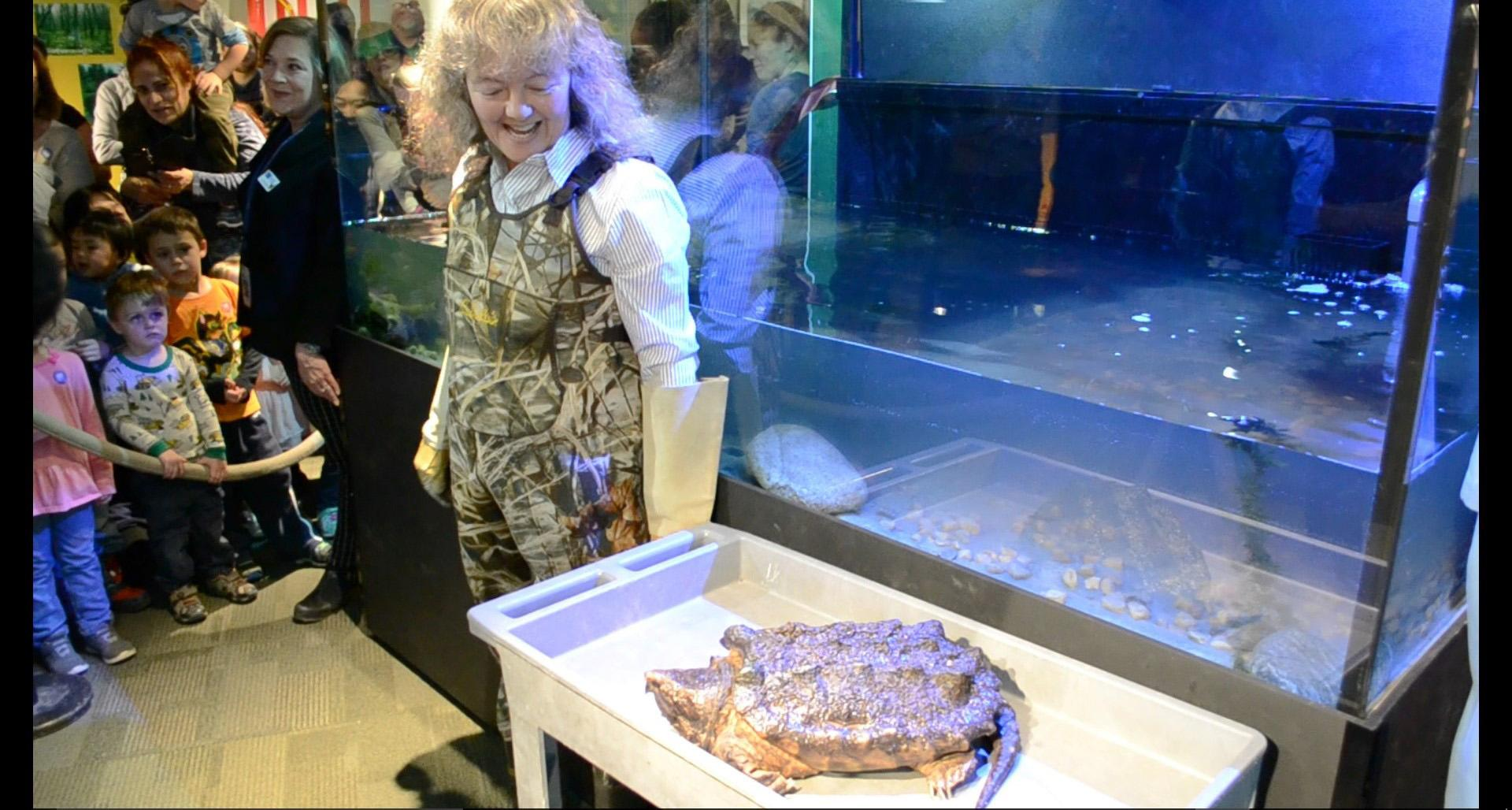 Peggy Notebaert Nature Museum's Celeste Troon presents Patsy McNasty, an alligator snapping turtle, on Jan. 19. (Alex Ruppenthal / Chicago Tonight)