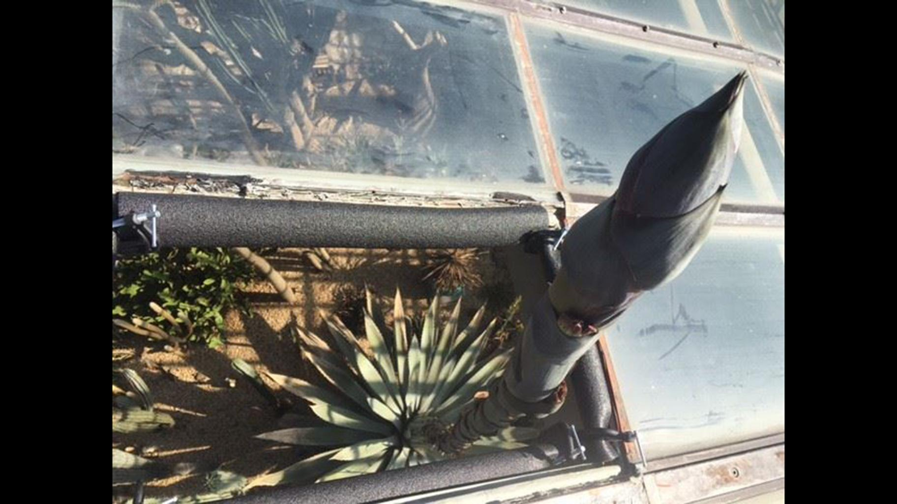 The Agave americana plant at Garfield Park Conservatory, pictured here on April 27, 2019, measures 33 feet, 6 inches tall as of June 5. It is now growing through the greenhouse roof. (Courtesy Garfield Park Conservatory)