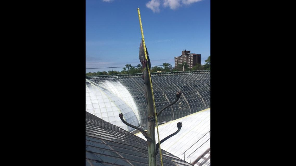 A measuring tape fastened to Garfield Park Conservatory's Agave americana plant, also known as a century plant. (Courtesy Garfield Park Conservatory)