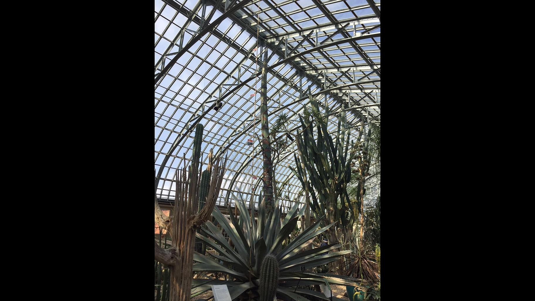 The century plant measured 17 feet, 6 inches tall on March 4, 2019.