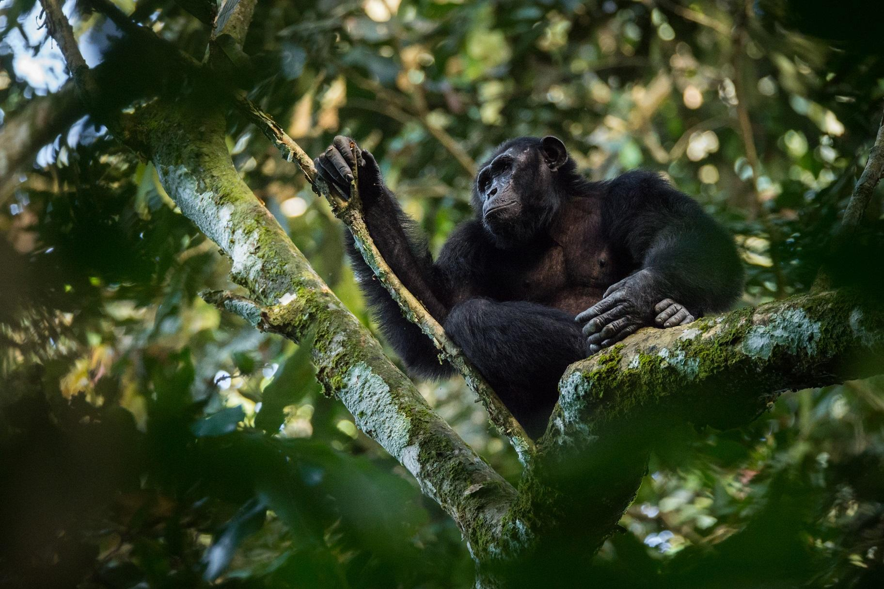 A chimpanzee in the Goualougo Triangle, part of the Nouabale-Ndoki National Park in the Republic of Congo. (Kyle de Nobrega / Wildlife Conservation Society)