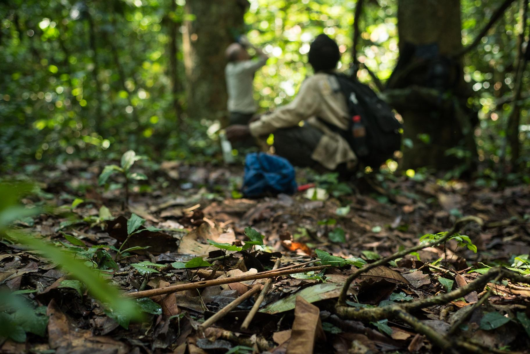 Researchers study chimpanzees in the Goualougo Triangle (Kyle de Nobrega / Wildlife Conservation Society)