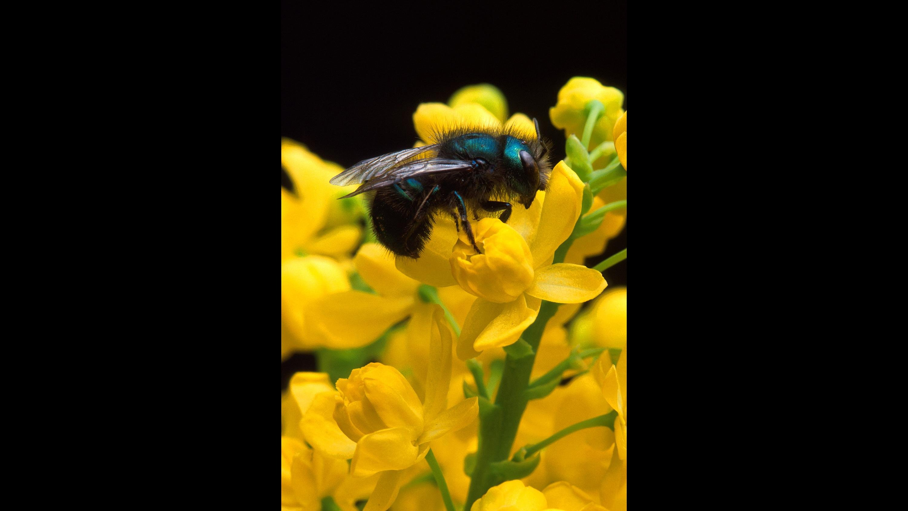 Northwestern's Paul CaraDonna studied the impact of increased temperatures on mason bees. (Jack Dykinga)