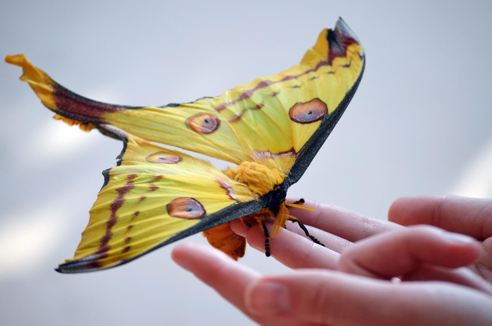 A rare comet moth, also known as a Madagascan moon moth, emerged from its cocoon last week at the Peggy Notebaert Nature Museum. (Courtesy Peggy Notebaert Nature Museum)