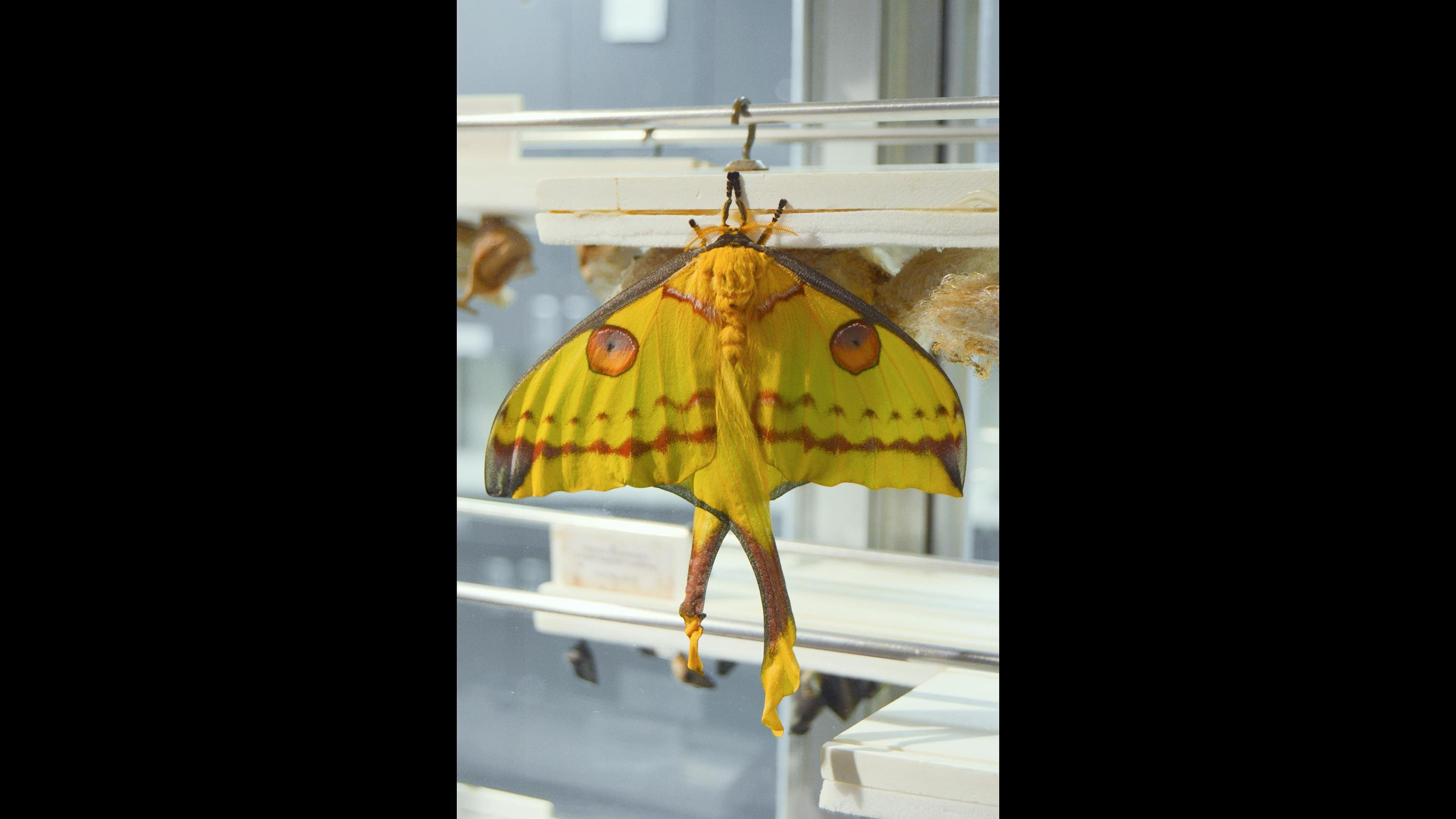 With a life expectancy of about one week, comet moths do not have mouths and live off fat stored as caterpillars. (Courtesy Peggy Notebaert Nature Museum)