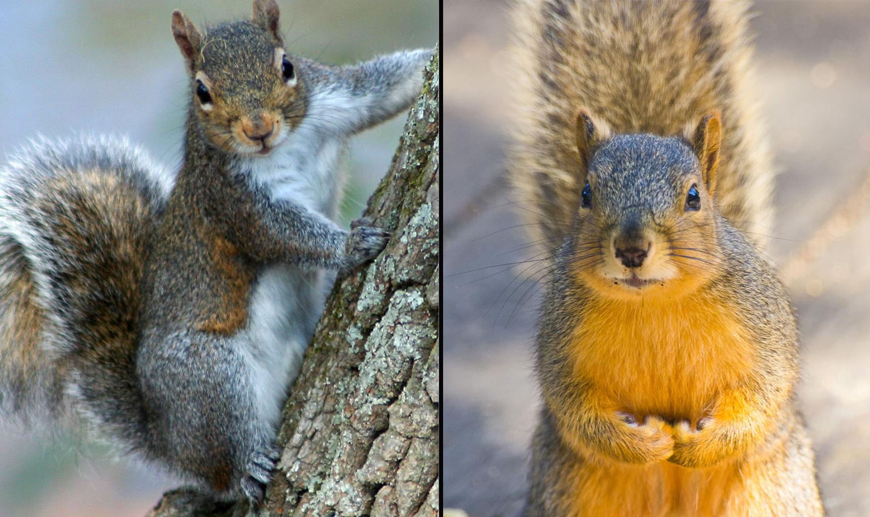 Left: A gray squirrel (Chiswick Chap / Wikimedia Commons) Right: A fox squirrel (Antoine Taveneaux / Wikimedia Commons)