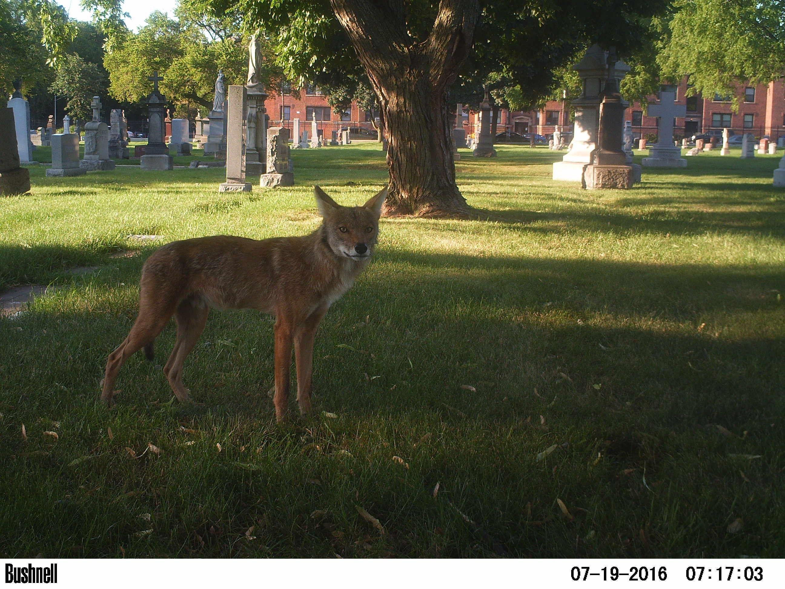 A coyote in Chicago. (Courtesy of Urban Wildlife Institute / Lincoln Park Zoo)