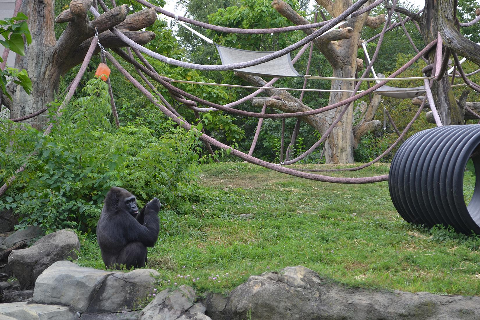Gorillas were among the animals monitored by scientists at Lincoln Park Zoo during Monday's solar eclipse. (Alex Ruppenthal / Chicago Tonight)