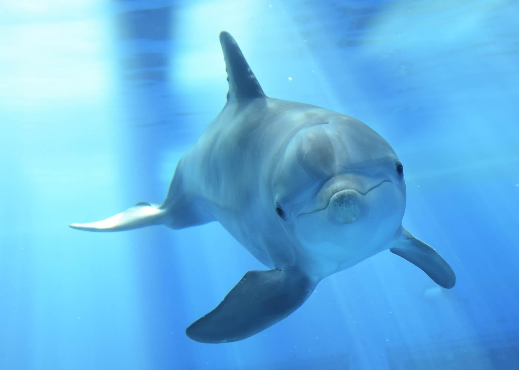 Magic, a bottlenose dolphin born at Brookfield Zoo in 2013. (Jim Schulz / Chicago Zoological Society)