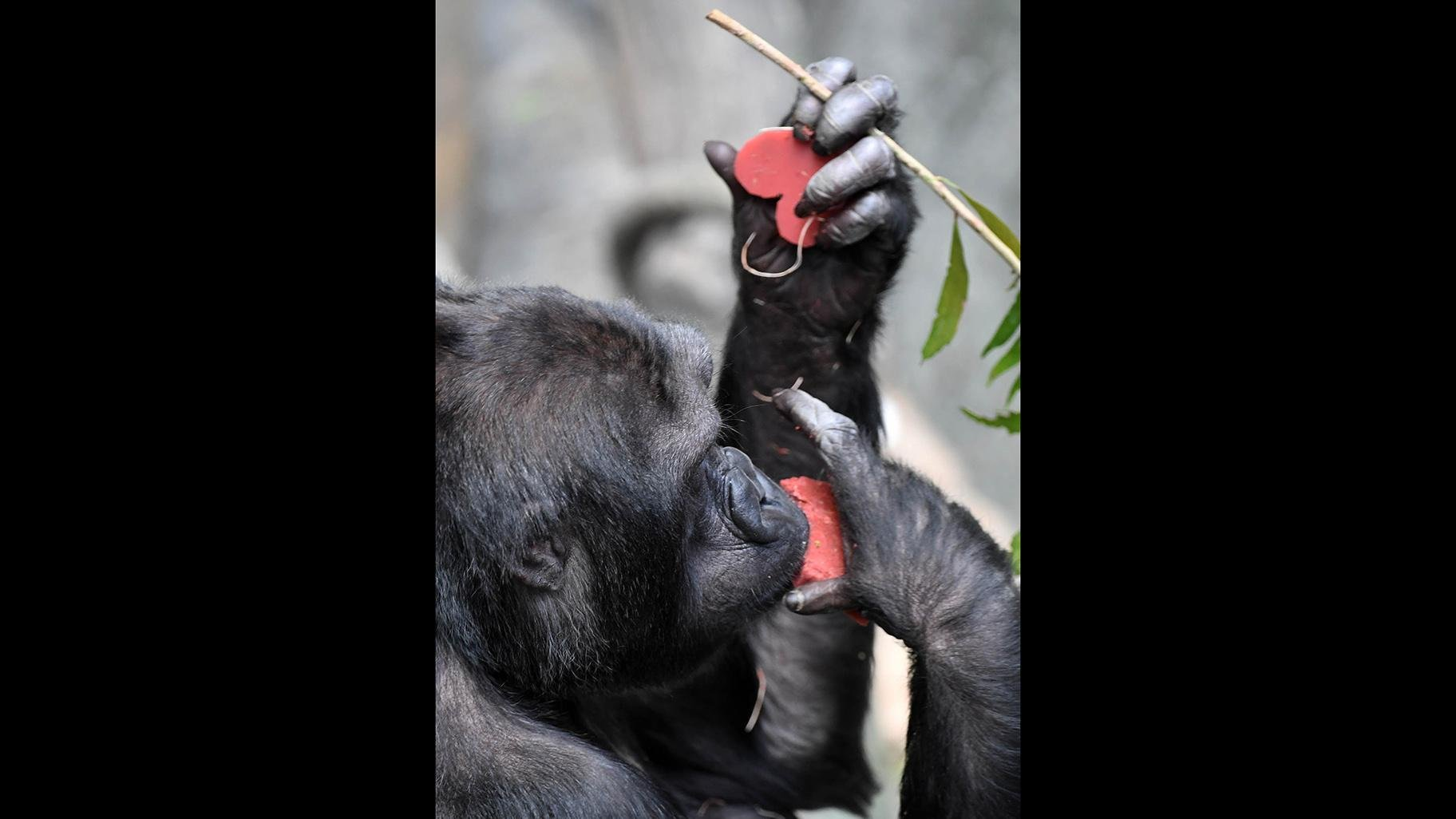 Binti Jua, a western lowland gorilla at Brookfield Zoo. (Jim Schulz / Chicago Zoological Society)