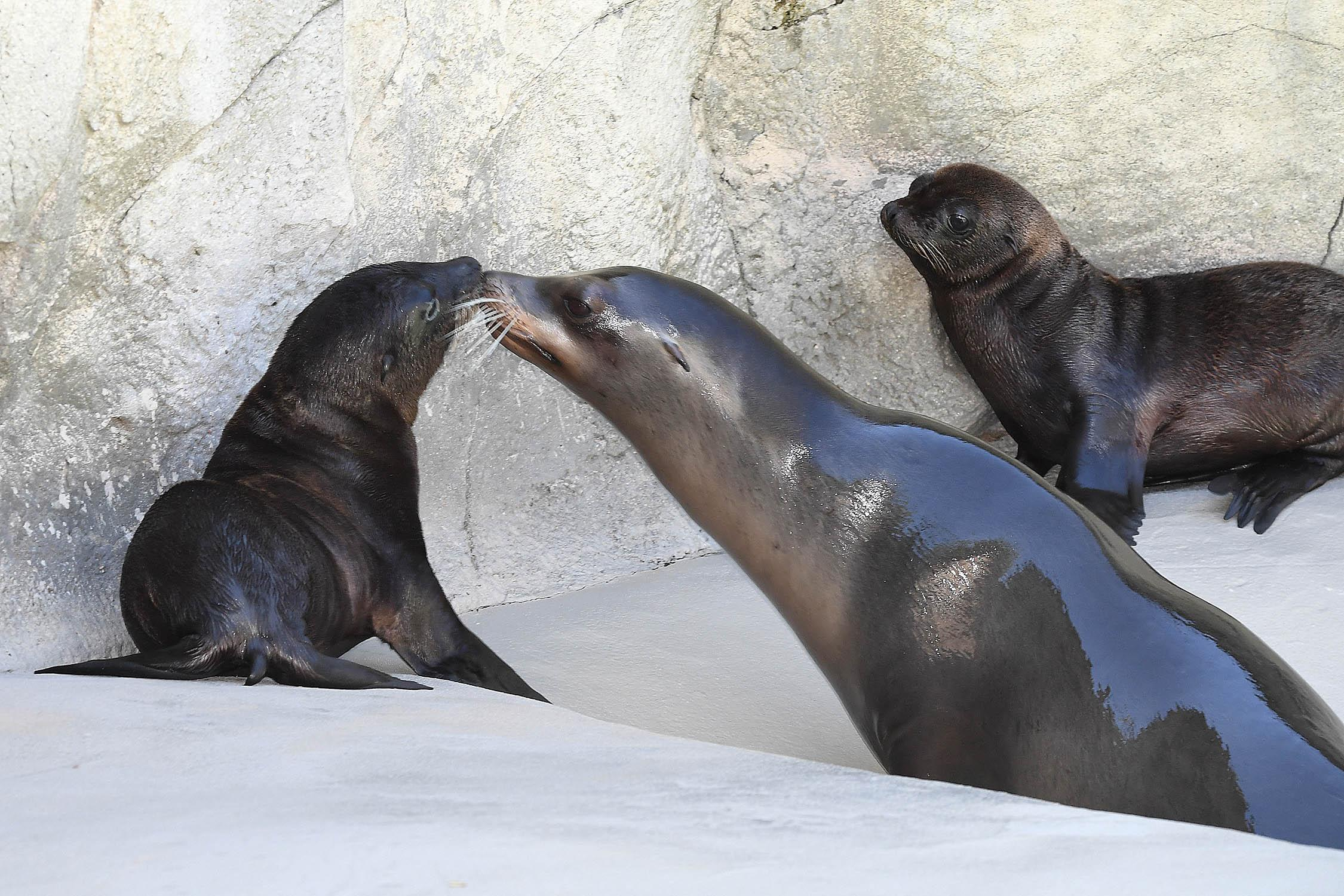Two California sea lion pups born at Brookfield Zoo on June 4 and 11 can now be seen in their outdoor habitat at Pinniped Point. Also pictured is one of the moms, Arie. (Jim Schulz / Chicago Zoological Society)