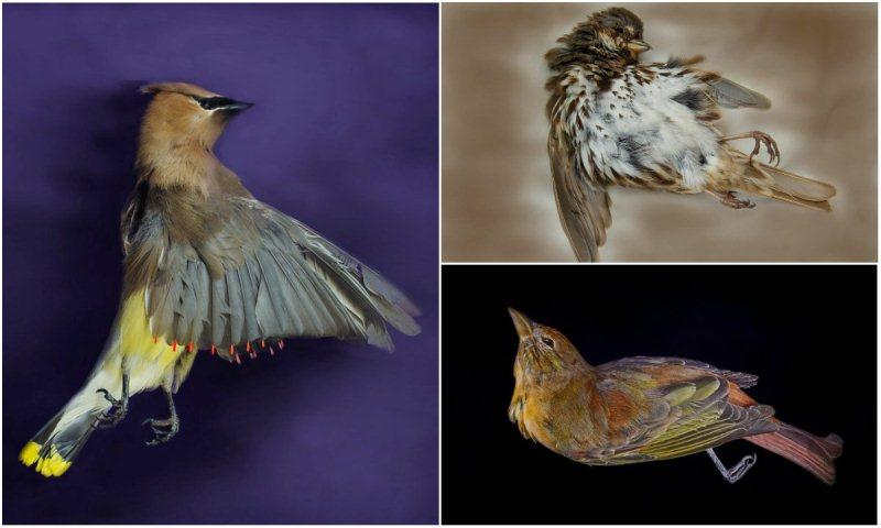 Photos of birds, pictured clockwise from left: a cedar waxwing, a song sparrow and a summer tanager. (Art Fox)