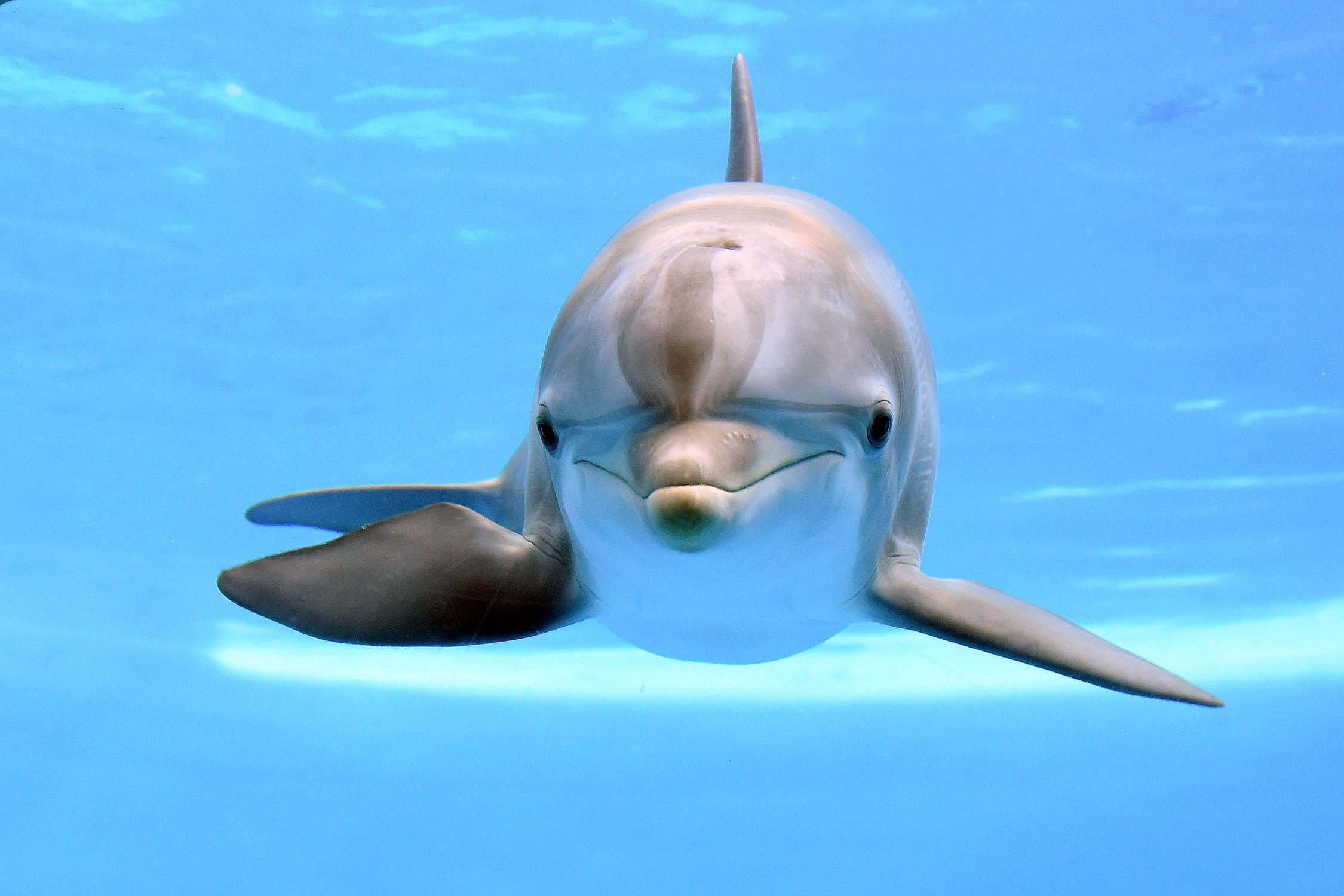 Maxine, a bottlenose dolphin at Brookfield Zoo. (Jim Schulz / Chicago Zoological Society)