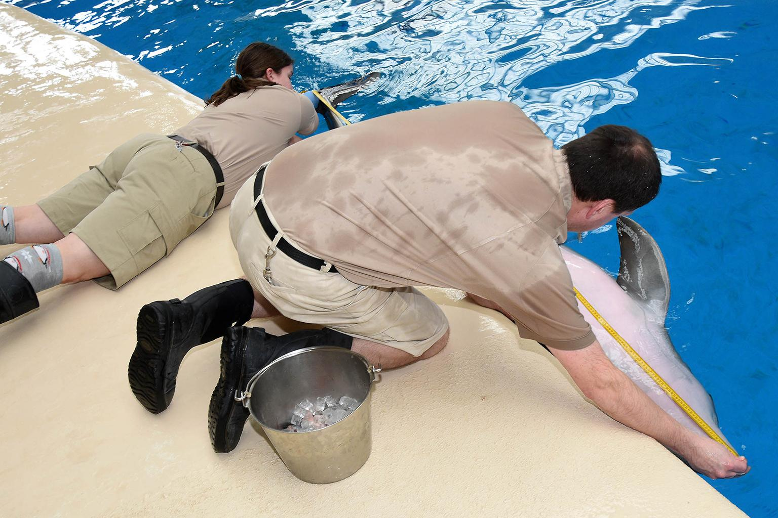 Brookfield Zoo animal care specialists measure the length of a dolphin. (Courtesy Chicago Zoological Society)