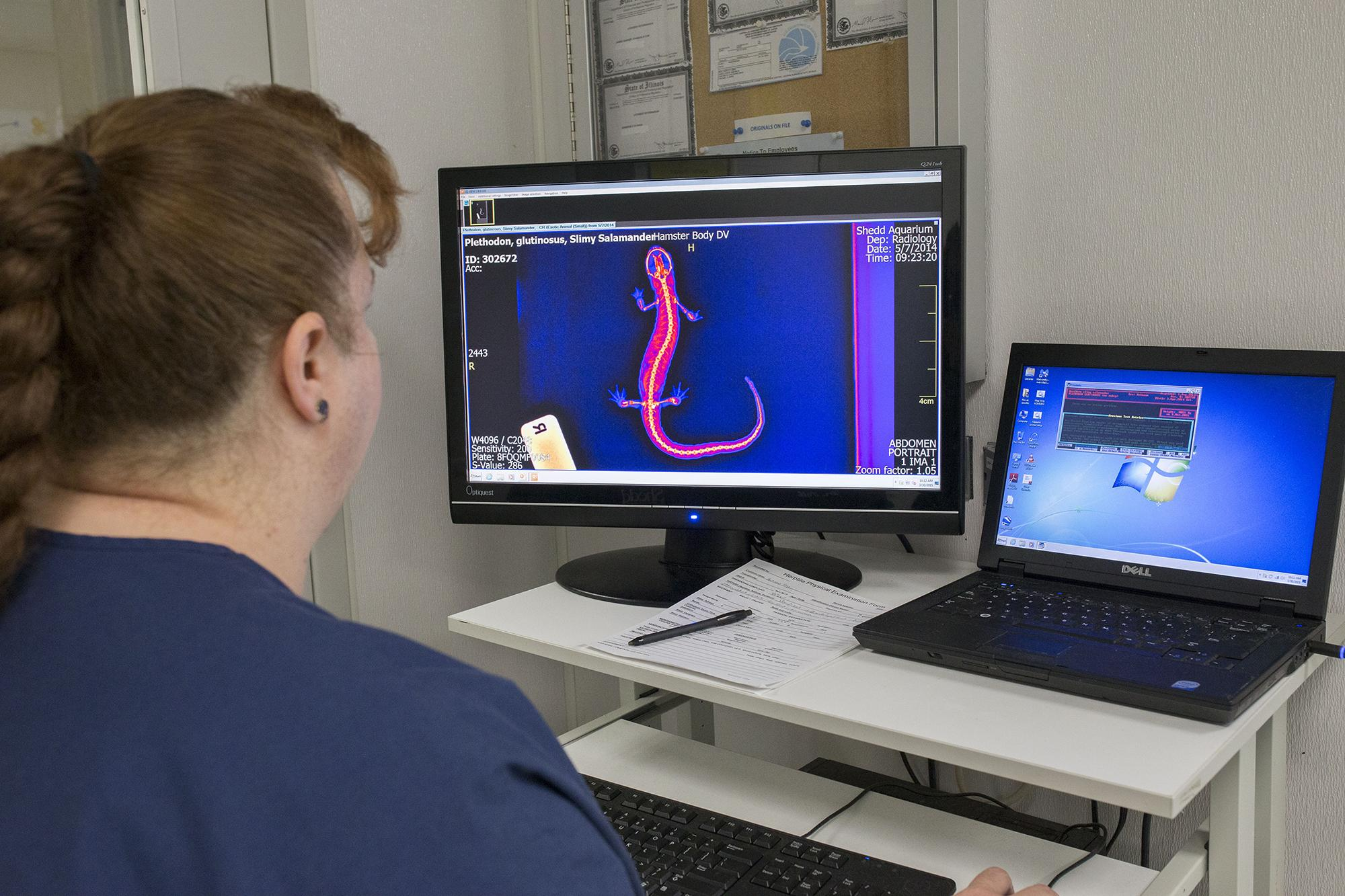 A staff member analyzes X-ray images of a salamander at Shedd Aquarium. (Courtesy Shedd Aquarium)