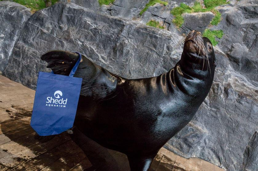 Ty, a sea lion at Shedd Aquarium, shows off one of the aquarium's reusable bags. (Courtesy Shedd Aquarium)